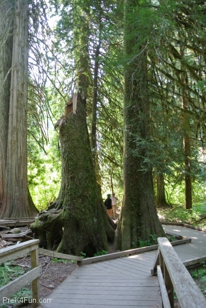 Grove of the patriarchs, Mt.Rainier trail 4