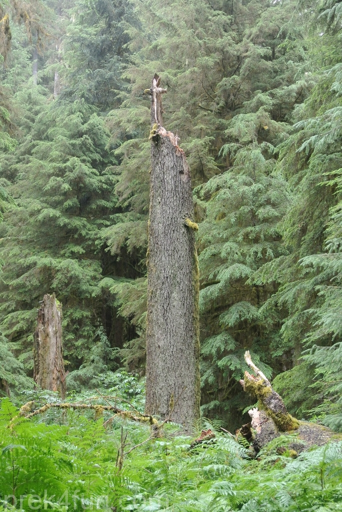 Sol Duc Falls Cross tree