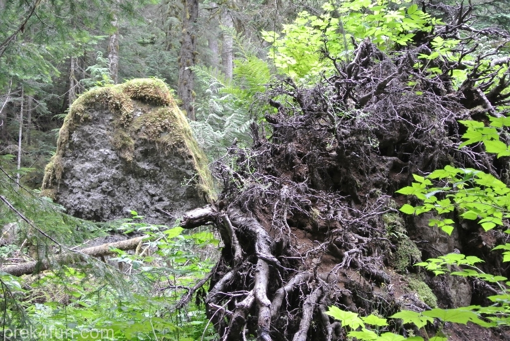 Tunnel Creek Trail tree stump